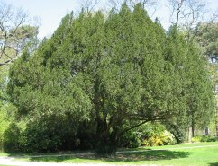 Taxus_baccata01_by_Line1