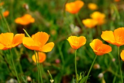 pavot de californie, escholtzia, plante pour dormir paisiblement, insomnie